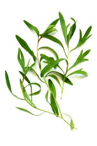 Óleo Essencial de Tea Tree (Melaleuca)