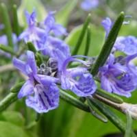 Flor de alecrim