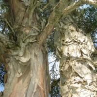 Tronco de árvore de cajeput