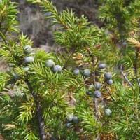 Junípero ou zimbro (Juniperus communis)