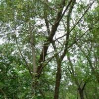 Árvores jovens de pau rosa (Aniba rosaeodora / Rosewood)