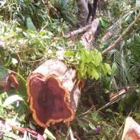 Foi publicada no dia 25/08/2011, no Diário Oficial da União, a Instrução Normativa nº 09, que estabelece procedimentos para a exploração das florestas primitivas que contemplem a espécie pau-rosa (Aniba rosaeodora).