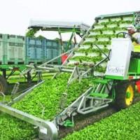 Colheita mecanizada de salsinha nos EUA