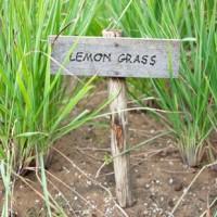 Capim limão, planta cujo óleo essencial contêm cerca de 75% de citral.