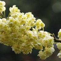 Flores de litsea cubeba, árvore cujo óleo essencial é rico em citral.