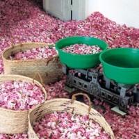 Pesagem de rosas na Bulgária