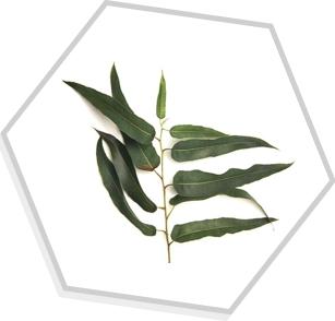 Óleo Essencial de Eucalipto Citriodora