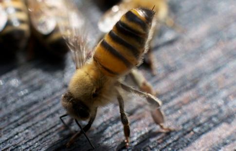 abelhascapimlimao01