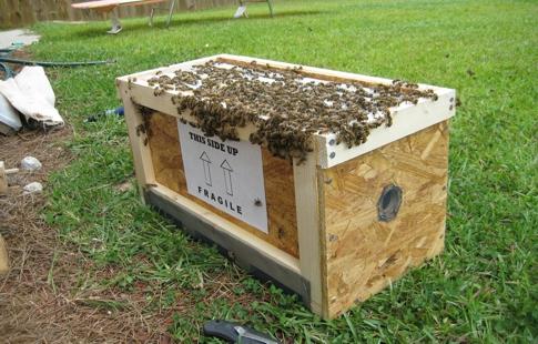 abelhascapimlimao04