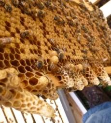 abelhascapimlimao05