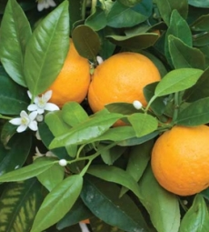 oe_laranjadoce02