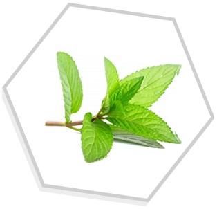 Óleo Essencial de Hortelã Verde (Mentha spicata)