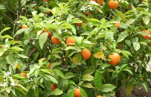 laranjaamarga01