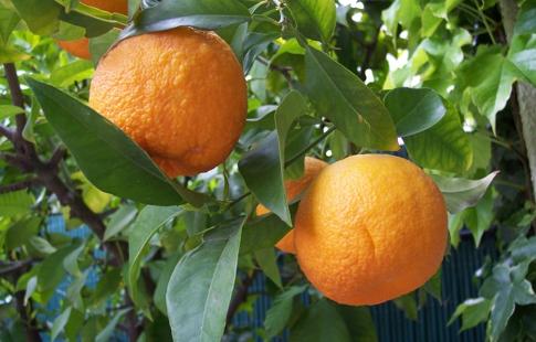laranjaamarga02
