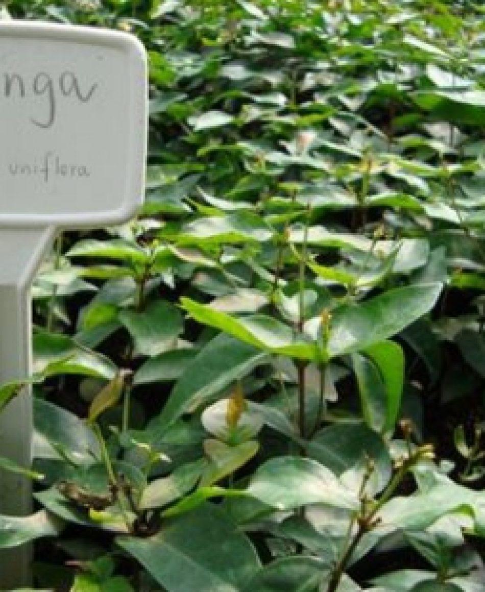 pitangueira04